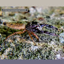 Black-headed jumping spider