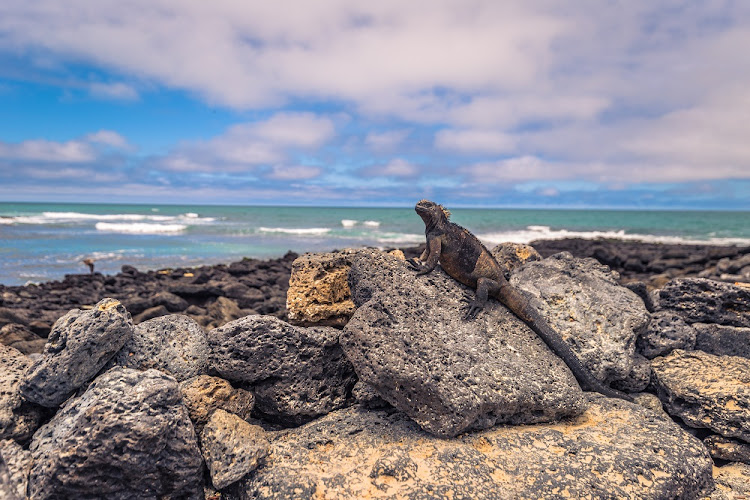 Marine iguanas in Tortuga Bay on Santa Cruz Island, Galapagos Islands, Ecuador. Picture: 123RF/RUI BAIAO