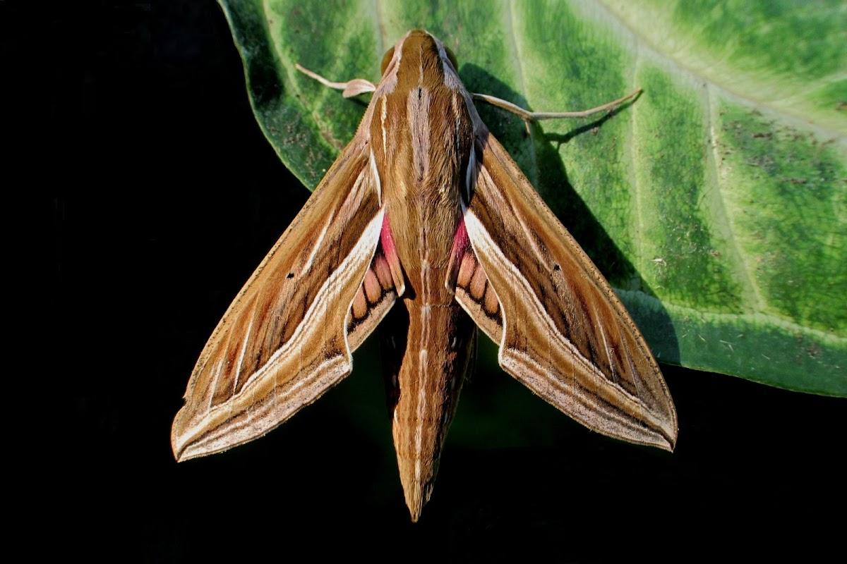 Vine or Silver-Sriped Hawk Moth