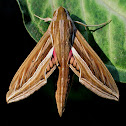 Vine or Silver-Sriped Hawk Moth