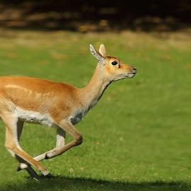Running by Gérard CHATENET - Animals Other Mammals