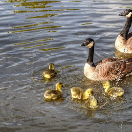The Whole Family by Patricia Phillips - Animals Birds ( birds geese canadian )