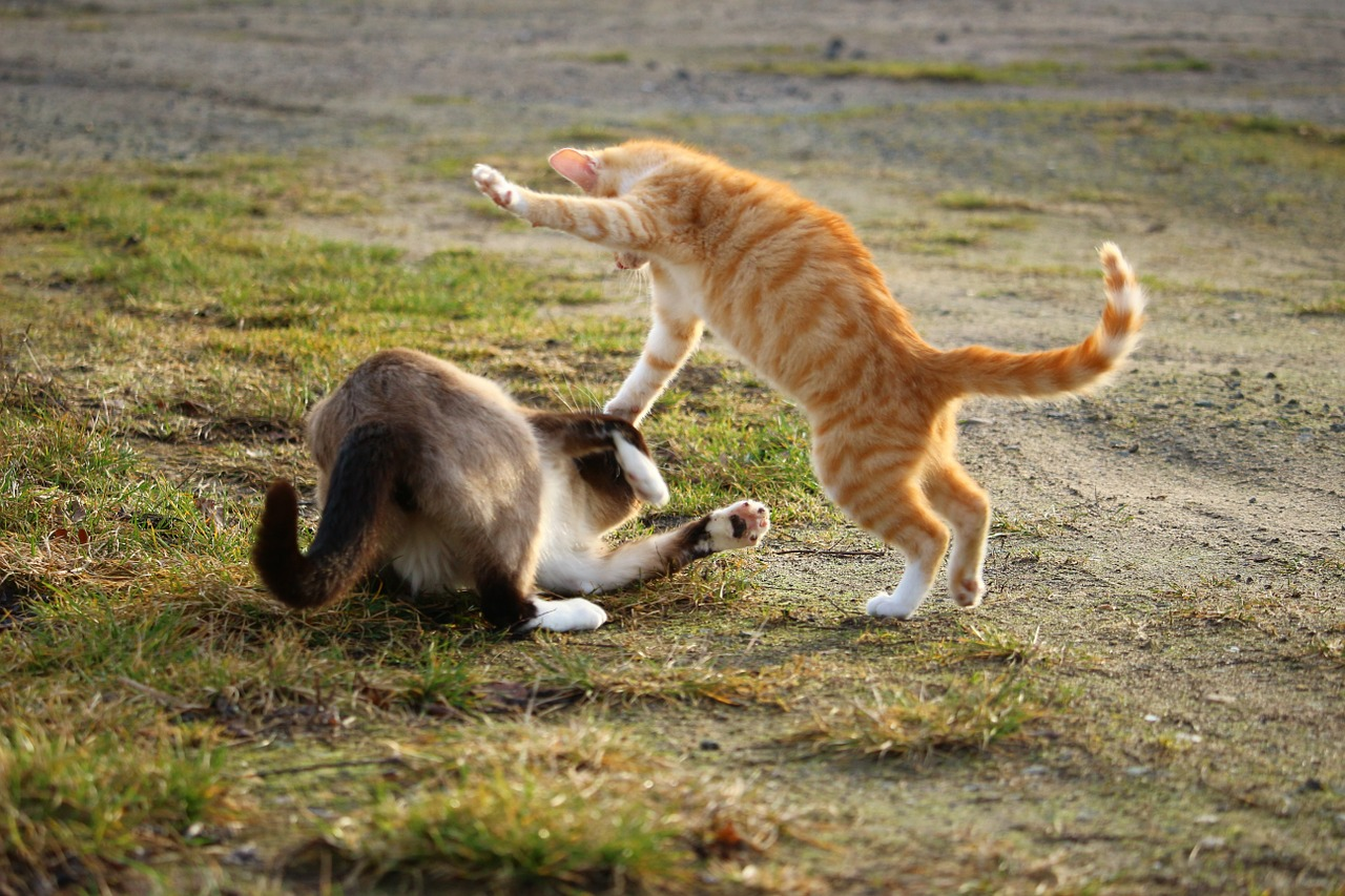 cách ngăn mèo đánh nhau