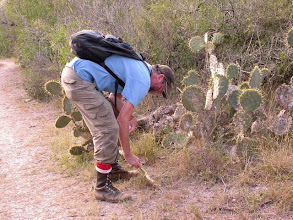 Photo: Flipping cactus pads looking for Gerstaeckeria Cactus Weevils