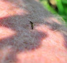 Photo: Sœur moustique en quête de pitance pour sa progéniture