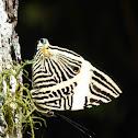 Colobura annulata