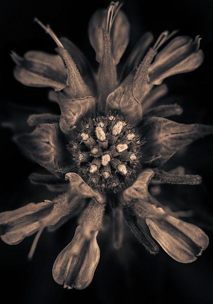 Photo: Bee's eye view of Balm (The Bee having way cool, dark polarizedsunglasses on)  Prints of all my work available at www.alanshapirophotography.com  #photography #flower #flowerphotography #flowerpower #hqspmonochrome #hqspflowers #btpflowerpro #monochromeworld #monochromephotography #splittonefivedaychallenge #splittoning #btpmonochromepro #momentsinthemonochromegarden #alanshapirophotography #googleplusphotographers #googleplusgarden