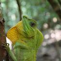 Hump Snout Lizard