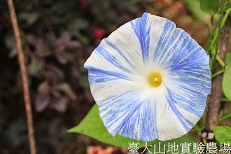 Photo: 拍攝地點: 春陽-可愛植物區 拍攝植物: 西洋朝顏 飛梭 拍攝日期:2013_08_29_FY