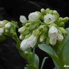 Oysterleaf - White Flowered