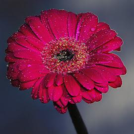 Gerbora n00109 by Gérard CHATENET - Flowers Single Flower