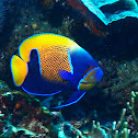 Bluegirdle Angelfish