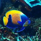 Bluegirdle Angelfish