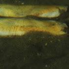 Pacific Razor Clam