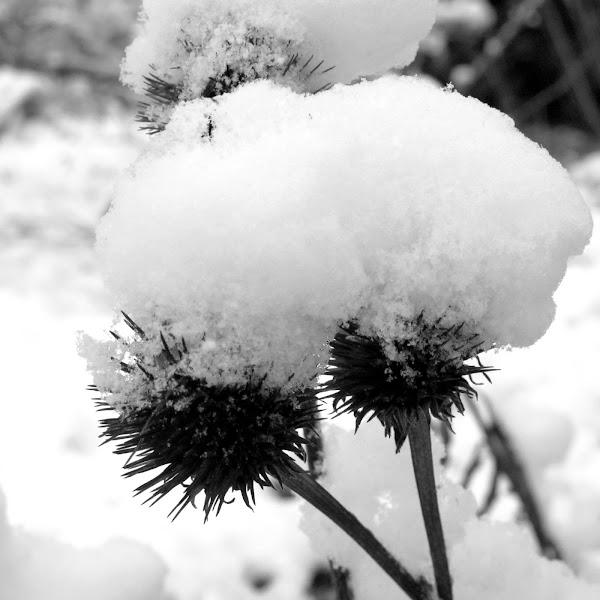 Photo: snowy echinacea heads