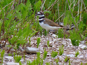 "Photo: Killdeer are more often heard than seen with their excited ""kill-deer""in flight call:
