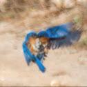 Azure Bluebird