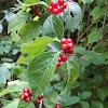 Amur honeysuckle fall fruit