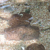 Ocellate Freshwater Stingray / Black River stingray