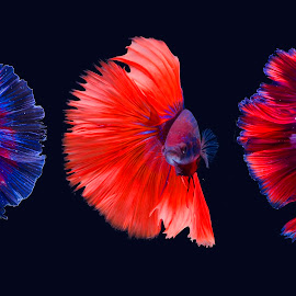 Transformation by Sulistyo Aji - Uncategorized All Uncategorized ( red, macro, colour, blue, nature, fish, clouds, indonesia )