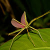 Coconut Stick Insect, Phasmid