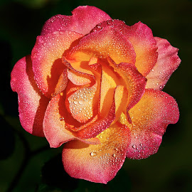0 Rose 9540~ by Raphael RaCcoon - Flowers Single Flower