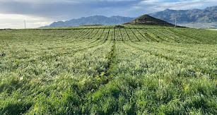 Cultivo de limón bio en Los Gallardos.