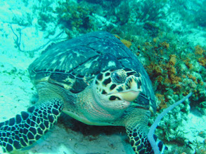 Photo: Hawksbill Turtle