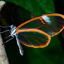 Salvin's Clearwing Butterfly