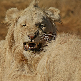 Angry male by Charmane Baleiza - Animals Lions, Tigers & Big Cats ( cats, lion, charmane baleiza, angry lion, wildlife )
