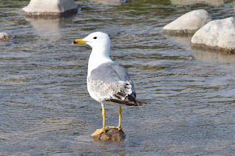 Photo: Larus armenicus?- Armenian Gull