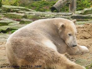 Photo: Marmorbaerchen Knut hat es sich bequem gemacht ;-)