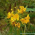 Clavelina amarilla