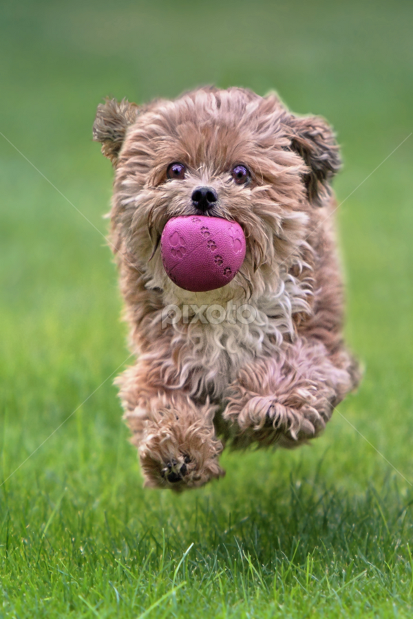 Jumping by Michael Milfeit - Animals - Dogs Running ( natural light, playful, jumping, joy, hund, puppie, run, cute, running, natural background, playing, adorable dogs, curious, toy, nature, happy, mamal, animal, ball, moving, animalia, play, charging, young, portrait, jump, canine, vertebra, joyful, animal kingdom, pet, zoology, companion dog, dog, natural, plaything,  )