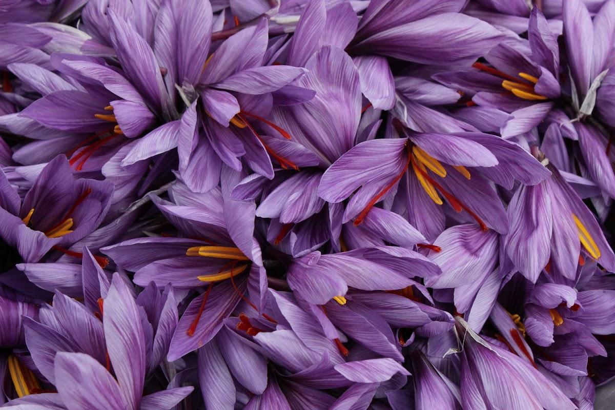Safran du Quercy (Crocus sativus) TJRfWIu66wv5Zz1quze33Oz7GpalSulSRcH_ZN3Il4zp85PnjcdZLN-f-JQClD_67Zj8W0asmZvffQ=w1280-h800-no