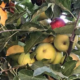 Apples by Linda Kocian - Food & Drink Fruits & Vegetables (  )
