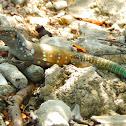 Bonaire whiptail lizard ♂️