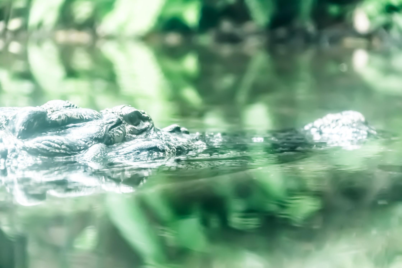 シンガポール動物園 インドガビアル ワニ