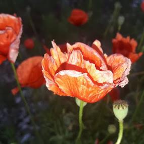 Red beauties  by Nat Bolfan-Stosic - Uncategorized All Uncategorized ( red, flowers, bright, poppies, dance )