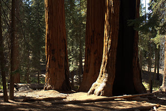 Photo: Sequoias with fire scars