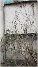 Photo: Lemn câinesc (Ligustrum vulgare) - de pe Calea Victoriei, Mr.1, zona Penny - 2016.12.08