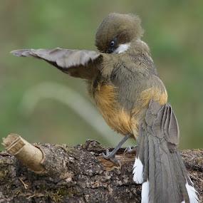 Stop!! by Gayatri Pimple - Animals Birds ( bird photography, bird photos, feathers, wings, bird, nature and wildlife, birds, birding, wing, nature photography, wildlife )