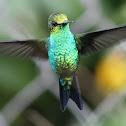 Colibrí esmeralda - Esmeralda coliazul - Western or West Andean emerald ♂