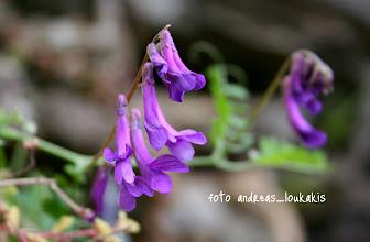 Photo: vicia tenuifolia ΟΡΟΠΕΔΙΟ ΚΑΘΑΡΟΥ  Βίκια η λεπτόφυλλος , πολυετές φυτό όρθιο με φύλλα αποτελούμενα από 8-12 ζεύγη λεπτών γραμμοειδών μικρών φύλλων, με πολλά άνθη ρόδινα ή ιώδη, στα ψηλά οροπέδια.