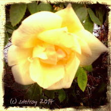 Photo: Roses at the rose garden.. first to come out. Sweet aroma I am grateful for.