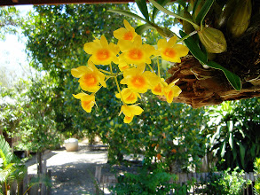 Photo: Hanging Orchids