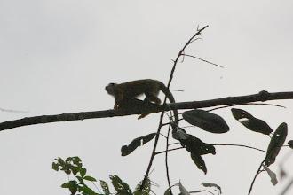 Photo: squirrel monkey, I think