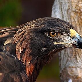 Golden Eagle Glow by Shawn Thomas - Animals Birds (  )