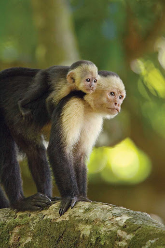 costa-rica-white-throated-capuchin-monkey.jpg - A white-throated capuchin monkey and baby climb a tree in Costa Rica.
