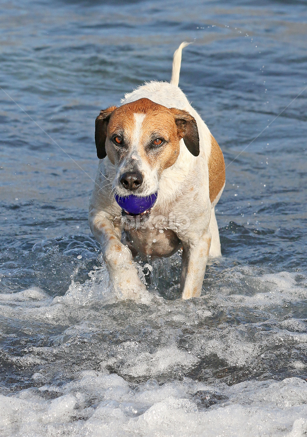Happy boy by Mia Ikonen - Animals - Dogs Playing ( mia ikonen, canary islands, happy, action, water, summer )
